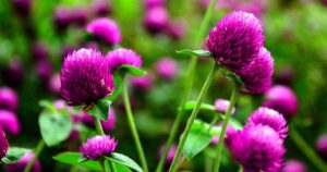Read more about the article Globe Amaranth – گمفرینا