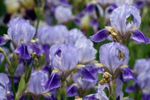 Read more about the article Iris – آئرس