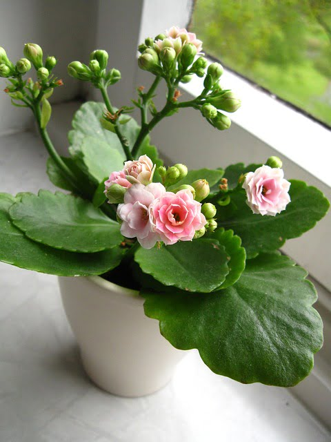 You are currently viewing Kalanchoe – پتھر چٹ /کلانچو