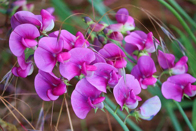 You are currently viewing Sweet Pea – مٹر پھول