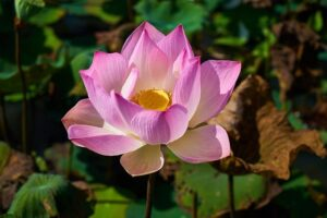 Read more about the article Lotus Flower – کنول