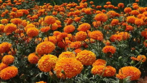 Read more about the article Marigold – گیندا