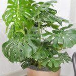 Read more about the article Monstera Plant – مونسٹریا