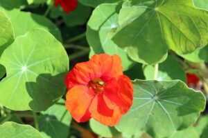 Read more about the article Nasturtium – نسٹرشئم