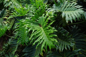 Read more about the article Philodendron – فلوڈینڈران