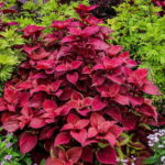 Read more about the article Coleus – کولئس