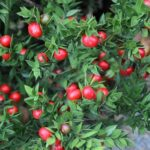 Read more about the article Ruscus plant – رسکس