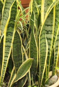 Read more about the article Snake Plant / Sansevieria – سن سویریہ