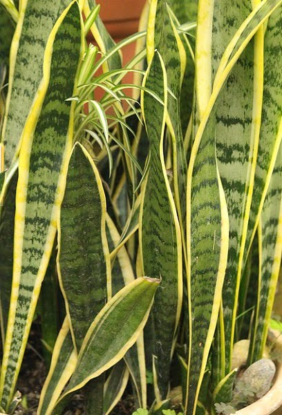 You are currently viewing Snake Plant / Sansevieria – سن سویریہ