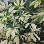 Read more about the article Schefflera – شفلیرا