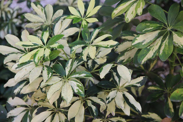 You are currently viewing Schefflera – شفلیرا