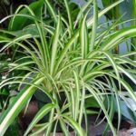 Read more about the article Spider Plant – کلوروفائٹم