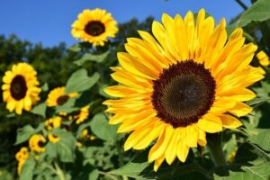 Read more about the article Sunflower – سورج مکھی