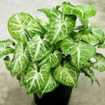 Read more about the article Syngonium / Arrowhead Plant – سنگونیم