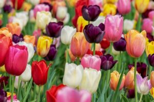 Read more about the article Tulip – ٹیولپ
