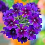 Read more about the article Verbena – وربینا