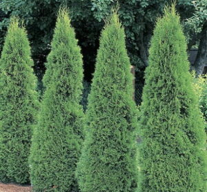 Read more about the article Arborvitae (Morpankh)- مورپنکھ