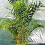 Read more about the article Cane Palm – کین پام