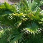 Read more about the article Chinese Fan Palm – ٹیبل پام