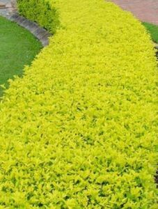 Read more about the article Duranta Plant – درانتا