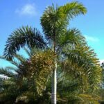 Read more about the article Foxtail Palm – فوکس ٹیل پام