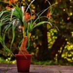 Read more about the article Ponytail Palm – بیوکارنیا