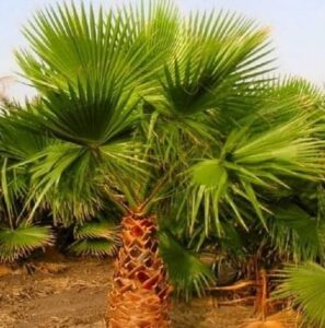 Read more about the article Washingtonia Palm