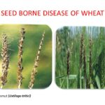 Read more about the article Seed Borne Diseases & their Control