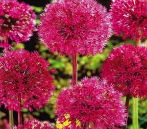 Read more about the article Allium / Ornamental Onion Flowers