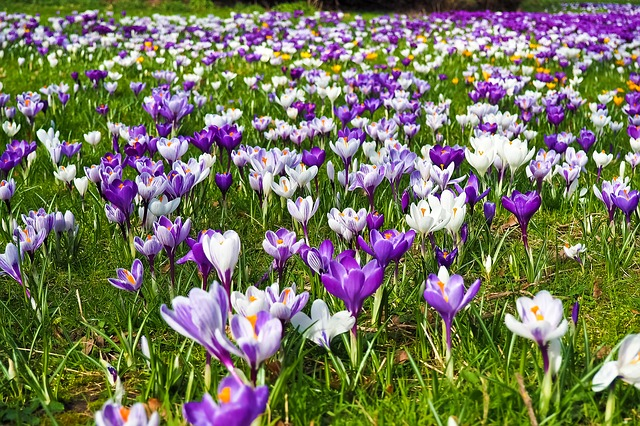 You are currently viewing Crocus / Saffron Flowers