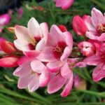 Read more about the article Ixia Flowers / African Corn Lilies