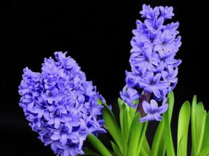 Read more about the article Hyacinth Flowers