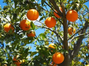 Read more about the article Citrus Diseases & Control / ترشاوہ پھلوں کی بیماریاں اور ان کا انسداد