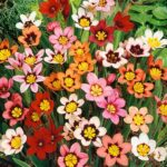 Read more about the article Sparaxis / Harlequin Flowers