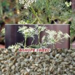 Read more about the article Ajwain Desi (اجوائن دیسی) / Bishop's Weed