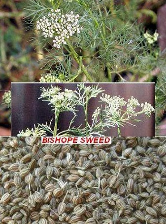 You are currently viewing Ajwain Desi (اجوائن دیسی) / Bishop's Weed