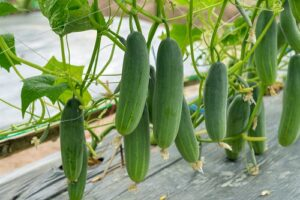 Read more about the article Cucumber Cultivation in Pakistan – کھیرا کی کاشت