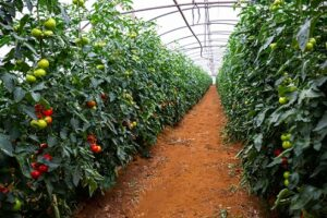 Read more about the article Tomato Tunnel Farming in Pakistan – ٹماٹر کی ٹنل میں کاشت