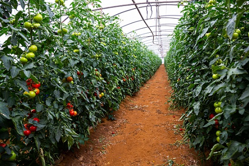 You are currently viewing Tomato Tunnel Farming in Pakistan – ٹماٹر کی ٹنل میں کاشت
