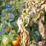 Read more about the article Summer Vegetable Diseases & Insects – سبزیوں کے کیڑے اور بیماریاں