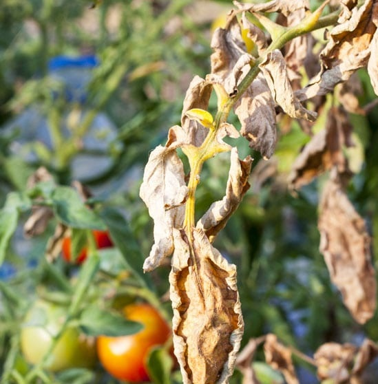 You are currently viewing Summer Vegetable Diseases & Insects – سبزیوں کے کیڑے اور بیماریاں