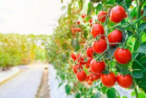 Read more about the article Tamatar /Tomato Cultivation in Pakistan – ٹماٹر کی کاشت