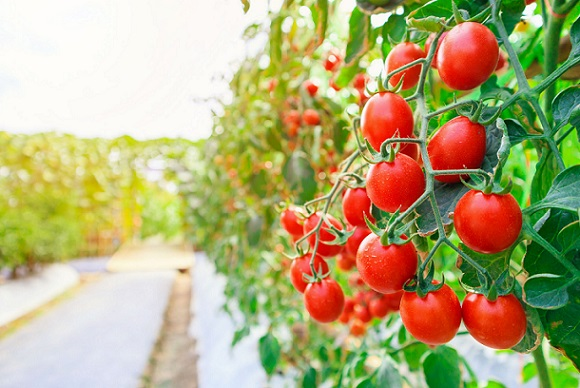 You are currently viewing Tamatar /Tomato Cultivation in Pakistan – ٹماٹر کی کاشت