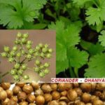 Read more about the article Dhania – Coriander / دھنیا
