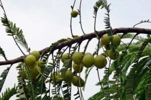 Read more about the article Amla / Indian Gooseberry – آملہ