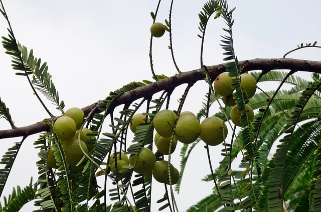 You are currently viewing Amla / Indian Gooseberry – آملہ