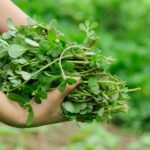 Read more about the article Kulfa / Purslane Cultivation in Pakistan – قلفہ کی کاشت