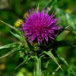 Read more about the article Cultivation of Milk Thistle in Urdu – اونٹ کٹارا کی کاشت