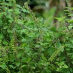 Read more about the article Tulsi / Holy Bassil in Pakistan – تٌلسی کی کاشت