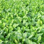 Read more about the article Paalak ki kasht | Spinach in Pakistan | پالک کی کاشت